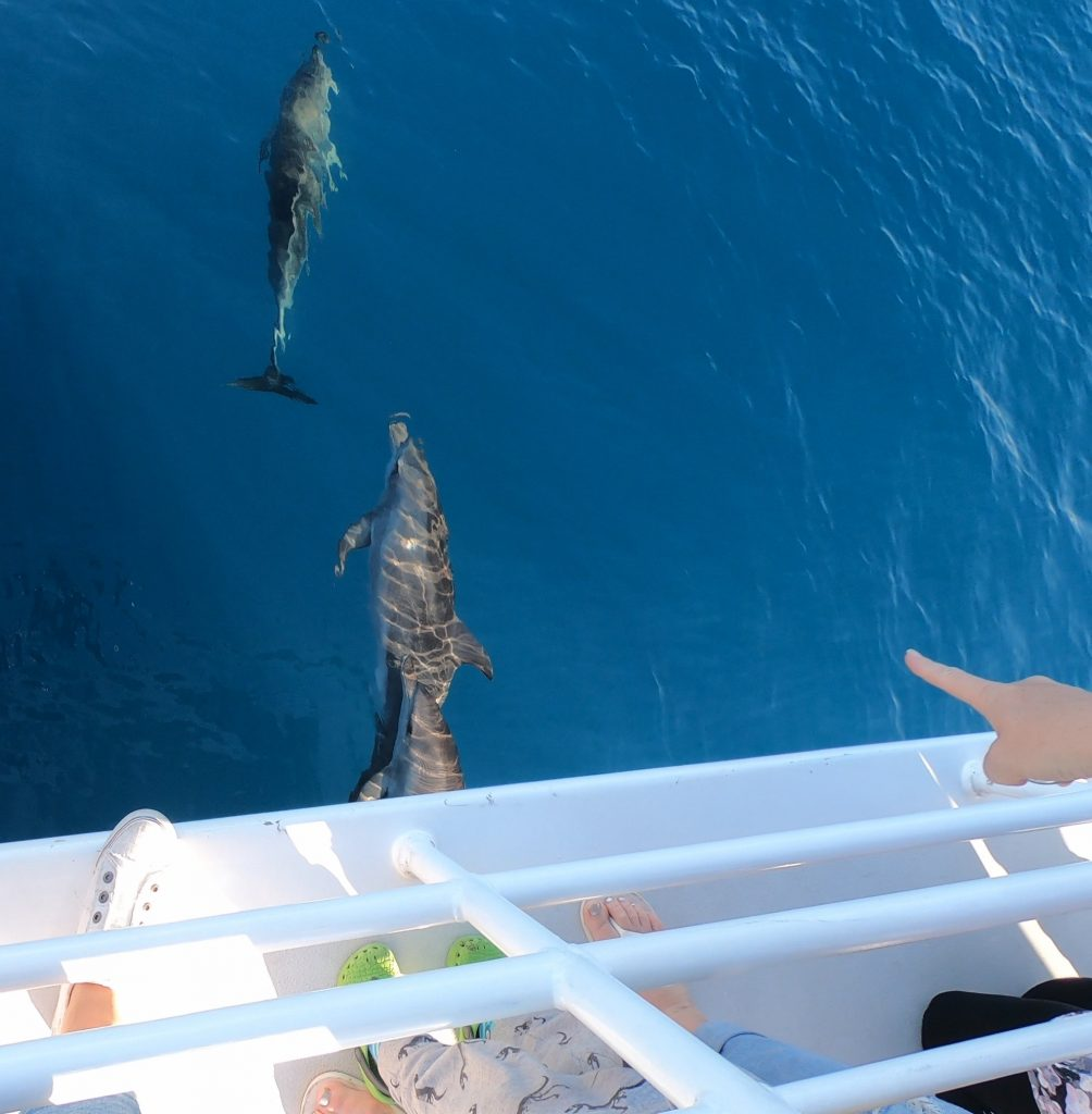 Whalesong Cruises Hervey Bay three bottlenose dolphins on bow