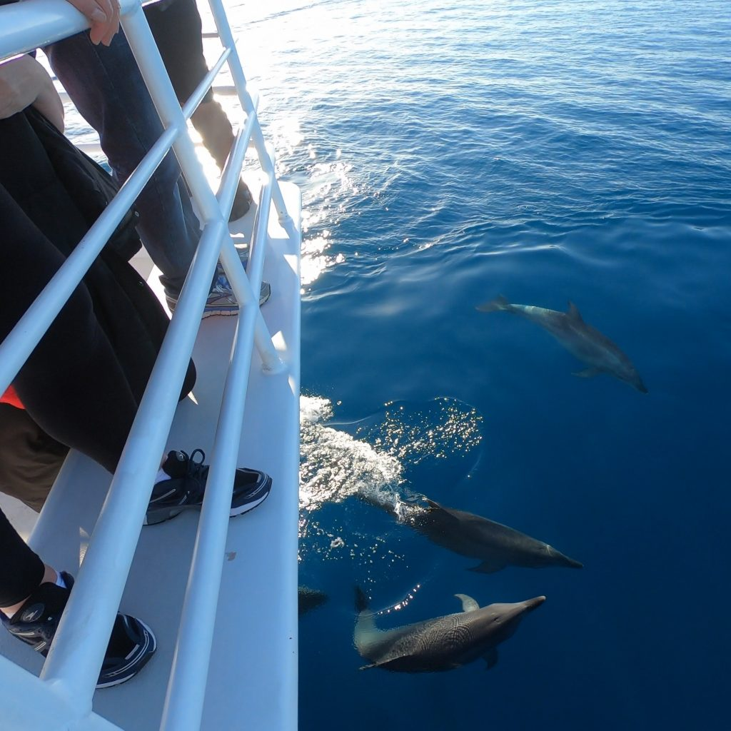 Whalesong Cruises Hervey Bay bottlenose dolphins riding bow