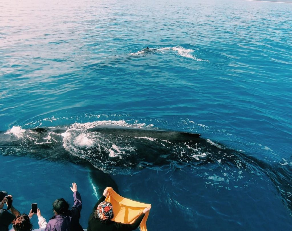 humpback whale looking at guests onboard Whalesong Cruises Hervey Bay