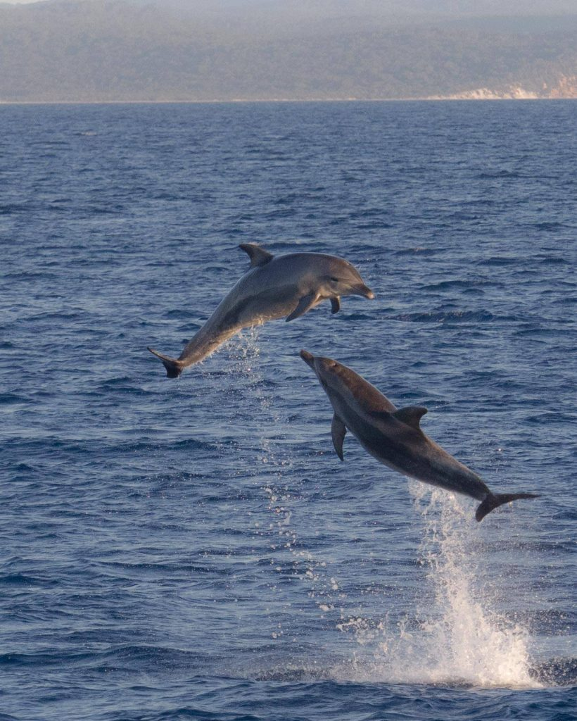 Whalesong Cruises Hervey Bay bottlenose dolphins playing