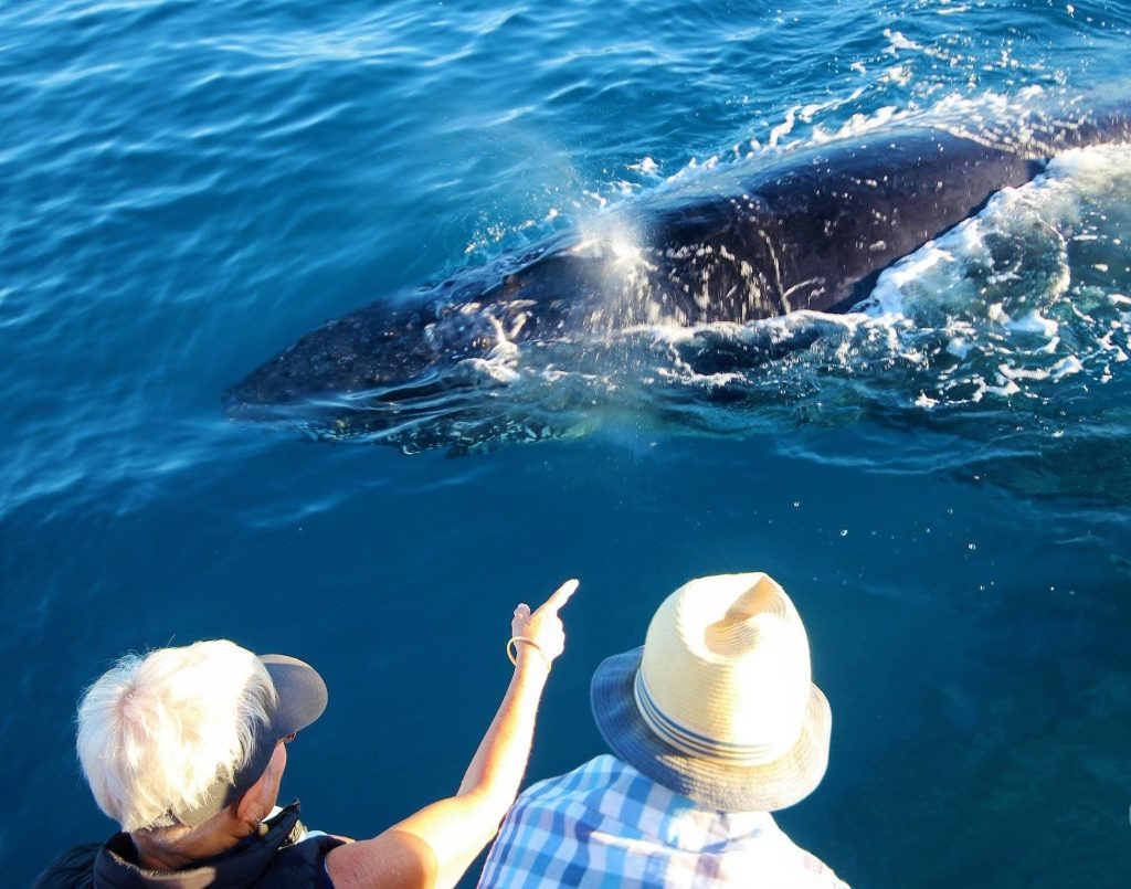 Whalesong Cruises Hervey Bay - humpback whale watching blow spouting