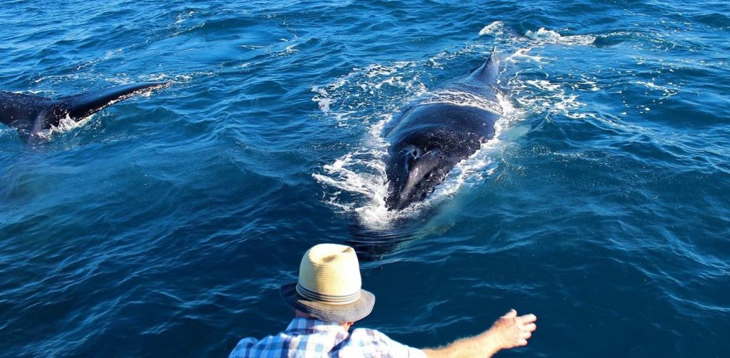 Whalesong Cruises Hervey Bay best value humpback whale watching coming in for a hug