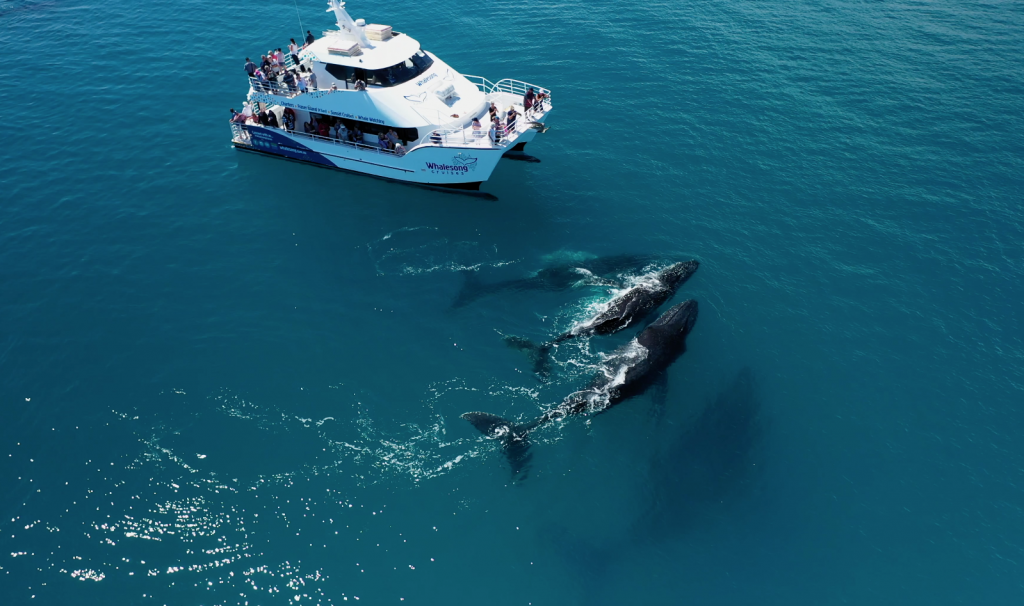 Whalesong Cruises Hervey Bay best value humpback whale watching close encounters