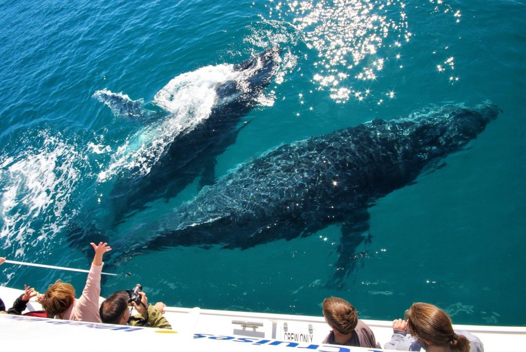 Whalesong Cruises Hervey Bay best value humpback whale watching so close to boat