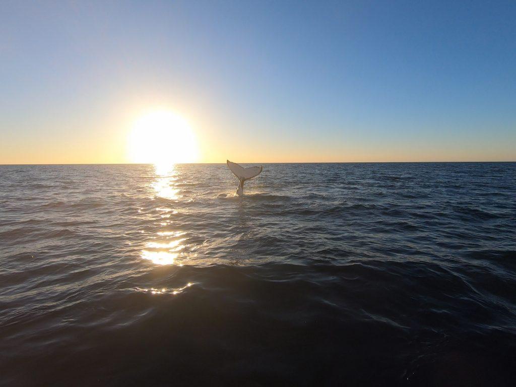 Whalesong cruises Hervey Bay - sunset humpback whale watch tail fluke slap