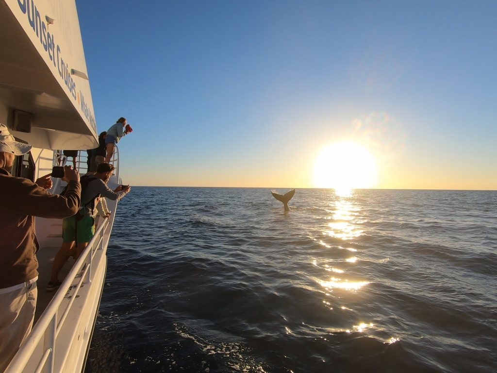humpback whale tail fluke and guests in sunset