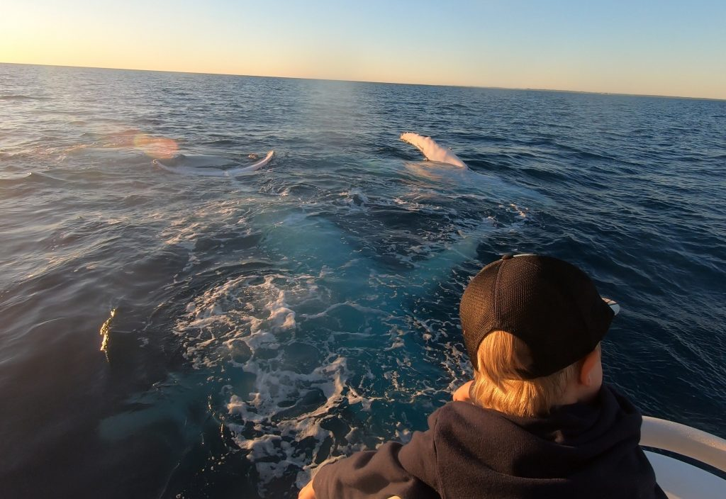 humpback whales lovely end to the day Whalesong Cruises Hervey Bay