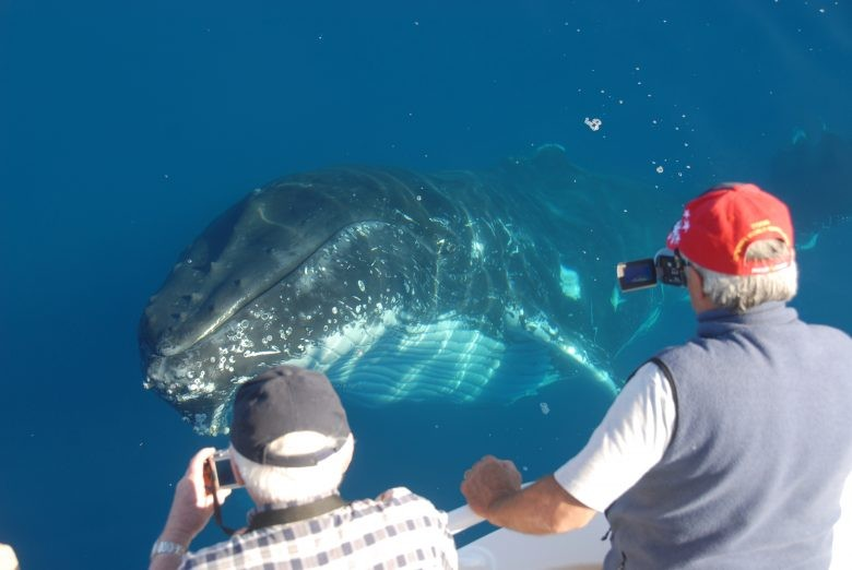 Whalesong Cruises Hervey Bay humpback whale close encounter